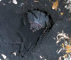 armadillo burrow
