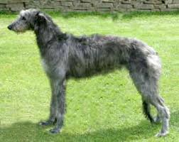 scottish deerhounds breeders