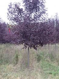 canadian chokecherry tree