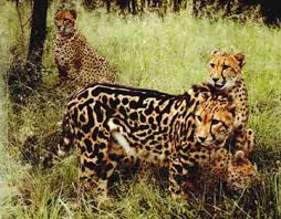 king cheetah pictures