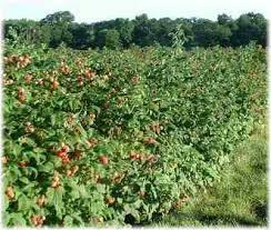 raspberries plants