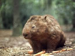 Photo: A wombat with carrots