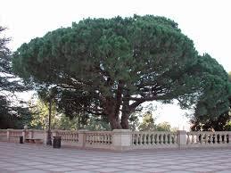 italian pine