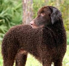 curly coat retriever