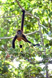 download spider monkeys