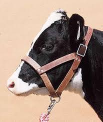 calf halter
