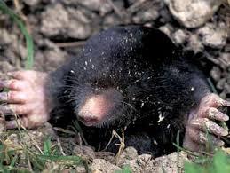 large mole