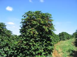 coffee tree pictures