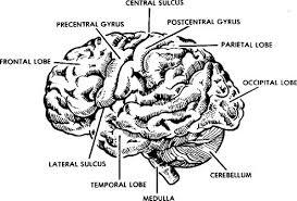 human brain psychology