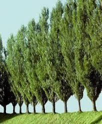 lombardi poplar trees
