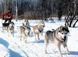dog sledding races