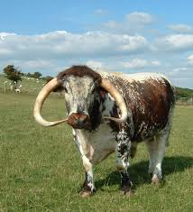 longhorns cattle