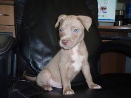 red nose and blue nose pitbulls
