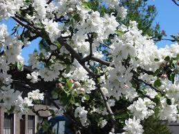 macintosh apple tree