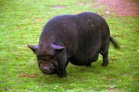 pot bellied pig