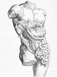 human anatomical diagrams