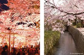 cherry sakura