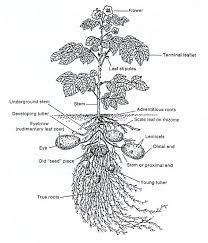 potato plant picture