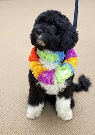 obamas portuguese water dog