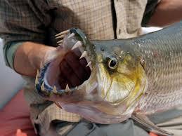 man sized fish