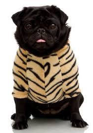 pug dog clothing