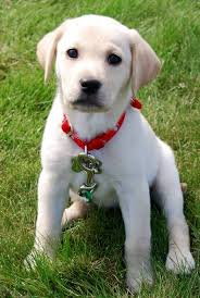 baby golden lab