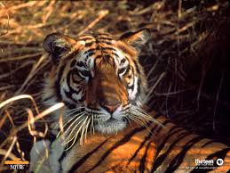 large pictures of tigers