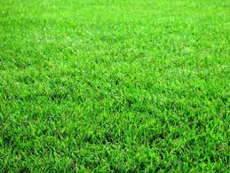 lawn grasses
