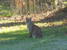 bobcat animal pictures