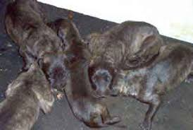 irish wolfhound puppies for sale