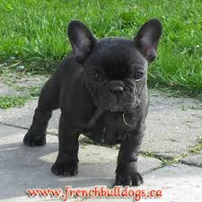 french bulldogs puppies