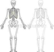 human body skeletons