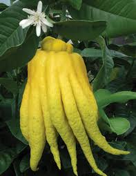 buddha hand plant
