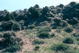 mountain shrub
