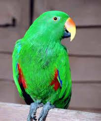 parrots eclectus