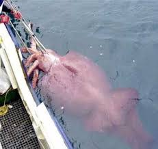 picture of giant squid
