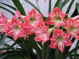 azucenas flores