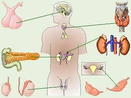 endocrine system images