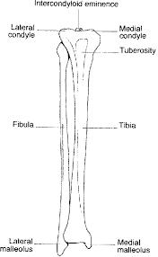 bones lower leg