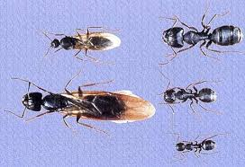 carpenter ants pictures