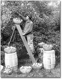picking apples