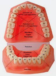 numbered tooth chart