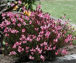 gaura pink