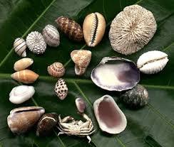 hawaiian sea shells