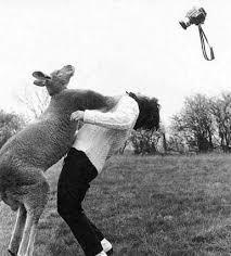 kangaroo punching