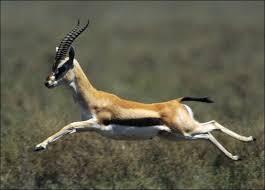gazelle the animal