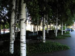 picture of birch tree