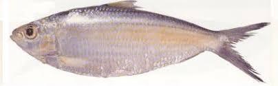 bangla fish