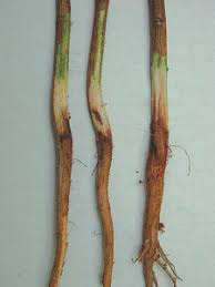 cotton root