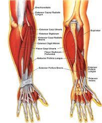 forearm muscle